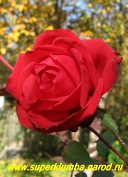 """РОЗА """"СОФИ ЛОРЕН"""" на фоне осенней листвы. Цветки держатся на длинных побегах, что делает их идеальными для срезки. Молодая листва красная, затем становится темно-зеленой, блестящая. Высота до 80 см, цветет с июня до заморозков. НЕТ В ПРОДАЖЕ"""