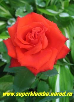 """РОЗА """"МЕРСЕДЕС"""" Роза яркого алого цвета с красивым разворотом лепестков, диаметр цветка 6-7см, с тонким ароматом. Прекрасная срезка.Цветение обильное, начинается с конца июня и продолжается до самых заморозков. Куст прочный, высотой 60-80 см. НЕТ В ПРОДАЖЕ"""