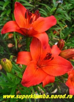 Лилия ГРАНД ПАРАДИЗО (Lilium  Grand Paradiso)  азиатский гибрид , ярко-красная с оранжевым горлом без крапа, диаметр цветка 16 см, цветет июль, высота до 100 см.,  НЕТ В ПРОДАЖЕ