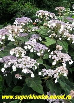 ГОРТЕНЗИЯ САРЖЕТА (Нydrangea sargentiana) Отличается очень крупными сильно опушенными темно-зелеными листьями до 25 см длиной и фиолетово-голубыми цветами собранными в крупные щитковидные соцветия. Высота 80-10 см, цветет в июле. НЕТ В ПРОДАЖЕ