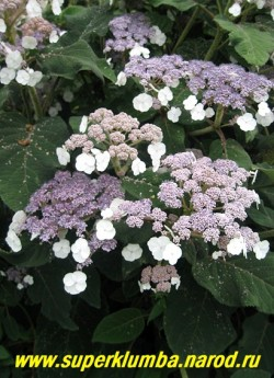крупным планом соцветия ГОРТЕНЗИИ САРЖЕТА (Нydrangea sargentiana). Цветки собраны в щитковидные плоские, густые соцветия 13—16см в поперечнике. Плодоносящие цветки фиолетово-голубые, стерильные белые расположены по краям соцветия. НЕТ В ПРОДАЖЕ