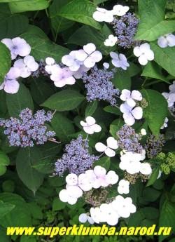 ГОРТЕНЗИЯ ПИЛЬЧАТАЯ (Нydrangea serrata) Соцветия плоские слегка выпуклые щитки диаметром 7-10 см в диаметре с цветами от розового до голубого оттенка, в зависимости от состава почвы. Листья блестящие зеленые. Цветет с июля до октября. На зиму желательно сухое укрытие лапником или лутрасилом. ЦЕНА 500-1300 руб.(4-8 летки)