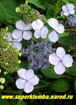 ГОРТЕНЗИЯ ПИЛЬЧАТАЯ (Нydrangea serrata) Крупные стерильные цветки расположены по периферии соцветия, они меняют свой оттенок от светлого к более насыщенному розовому или голубому цвету, срединные цветки мельче. Цветы меняют колер в зависимости от степени кислотности почвы и содержания в ней солей алюминия. ЦЕНА 500-1300 руб.(4-8 летки)