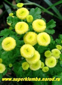 """ПИРЕТРУМ ДЕВИЧИЙ """"Золотой шар"""" (Matricaria eximia """"Golden boll"""")  Множественные желтые махровые соцветия 2 см в диаметре , похожие на пуговицы , высота 20 -30 см, цветет июль- август, в Подмосковье выращивается как 2- летник, но легко возобновляется самосевом. НЕТ В ПРОДАЖЕ"""