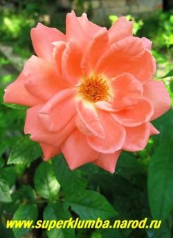 РОЗА №5. Роза светло-оранжевого цвета полумахровая. Высота 70-80 см, цветет с июня до заморозков. НЕТ В ПРОДАЖЕ