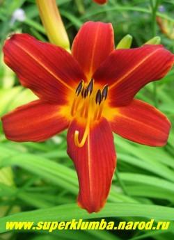 Лилейник ТЕРРАКОТОВЫЙ миниатюрный. Красно-коричневые с желтой полосой по центру лепестка и желтым горлом цветы звездчатой формы имеют диаметр 7-8 см, цветет июнь-июль, высота до 35 см.  ЦЕНА 150 руб (1 шт) или 300 руб (кустик из 3 шт)