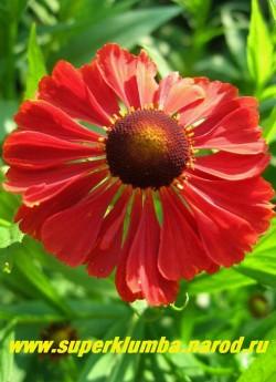 """ГЕЛЕНИУМ ОСЕННИЙ """"КРАСНЫЙ"""" (Helenium autumnale) цветок крупным планом. ЦЕНА 200 руб (шт)"""