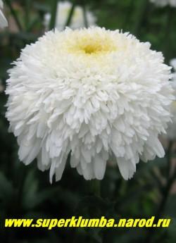 """Нивяник """"ФИОНА КОГХИЛЛ"""" (Leucanthemum """"Fiona Coghill"""")  непревзойденные по красоте густомахровые похожие на помпоны хризантем белые цветы, диаметр цветка 7-8 см, высота до 70 см, цветет июль- август, неприхотливый сорт .  Отличная срезка. ЦЕНА 250 руб (делёнка)"""