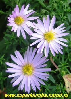 """АСТРА КУСТАРНИКОВАЯ """"Вудз Пинк"""" (Aster dumosus """"Wood''s Pink"""") миниатюрная астра высотой всего 20 см с сиренево-розовыми цветами, диаметр цветка 3-3,5 см, ЦЕНА 150 руб  (1 делёнка) НЕТ НА ВЕСНУ"""