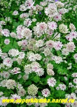 АСТРАНЦИЯ БОЛЬШАЯ ( Astrantia major) Высота цветущего куста до 70 см, листья глубоко пяти-пальчато-раздельные собраны в прикорневую розетку, душистые розовые цветы собраны в зонтики. Цветет с июня по август 35-40 дн. ЦЕНА 150-200  руб (1дел)