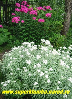 АНАФАЛИС ЖЕМЧУЖНЫЙ (Аnaphalis margaritacea) ценный сухоцвет привлекательный серебристыми побегами весной до поздней осени - покрытый шапками серебристо-белых соцветий. В начале роспуска цветы собраны в плотное соцветие, которое потом вырастает в ширину до 12см в диаметре. Высота 30-40см, цветет с июля по сентябрь. ЦЕНА 150 руб (кустик)