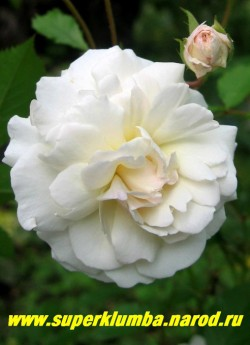 РОЗА №3. Полиантовая роза, кремово-белая, светлеющая по мере роспуска бутонов. Красивый разворот густомахровых цветков, на ветке от 5-10 цветов, диаметром 6-7 см.  ЦЕНА 300-500 руб (3-5 летки)