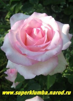 """РОЗА """"ГРАНД СИСЛЕЙ"""" Чайногибридная, бело-розовая, диаметр цветка 9 -10 см, распускается из крупных, длинных бутонов и ярко-розовые в центре, а по краям выгорают до бледно-розовых. высота до 70см, НЕТ В ПРОДАЖЕ"""