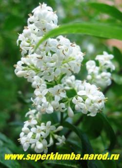 Цветки БИРЮЧИНЫ ОБЫКНОВЕННОЙ (Ligustrum vulgare) мелкие, белые, очень душистые, в густых стоячих метелках до 6 см длиной. Цветет в первой половине лета на протяжении 20-25 дней. ЦЕНА 350 руб НЕТ НА ВЕСНУ