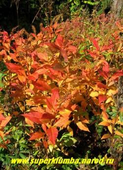 Необыкновенно-яркая осенняя листва ВЕРБЕЙНИКА КЛЕТРОВИДНОГО (Lysimachia clethroides) чрезвычайно украшает осенний сад. ЦЕНА 200 руб (дел)