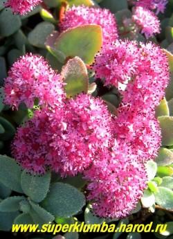 ОЧИТОК ЭВЕРСА (Sedum ewersii) Соцветие крупным планом . Соцветие верхушечное зонтиковидное из ярко-пурпурных цветов. Цветет в июле-сентябре. ЦЕНА 200 руб.