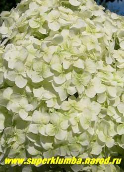 """соцветие ГОРТЕНЗИИ ДРЕВОВИДНОЙ """"Стерилис"""" (Hydrangea arborescens """"Sterilis"""") крупным планом. Цветы из беловато-зеленых превращаются в чисто-белые и не розовеют. Срезанные и высушенные они прекрасно стоит в сухих букетах. ЦЕНА 400-1500 руб (цветущие 4-10 летние кусты)"""