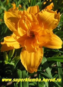 Лилейник ТРИ ТАЙЕРС (Hemerocallis Three Tiers)  чемпион выставок, крупные махровые золотистые цветки с оранжевым глазом, диаметр цветка 13-14см , цветет июль-август, высота 60 см, ЦЕНА 200 руб  (1 шт) или 500 руб (куст из 3-4 шт)