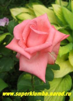 РОЗА №4. Роза нежного кораллово розового цвета с прекрасным разворотом. Высота 70-80см, цветет с июня до заморозков, срезочная. НЕТ В ПРОДАЖЕ