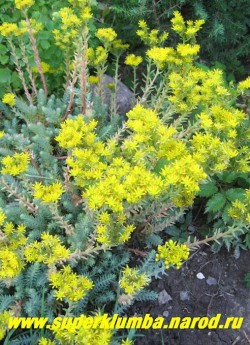 ОЧИТОК СКАЛЬНЫЙ ОТОГНУТЫЙ (Sedum rupestre ssp. reflexum) Цветки яркие, золотисто-желтые, собраны в щитковидные соцветия до 5 см в диаметре. Цветение июль-август. Хорош для цветников и больших горок, Быстро разрастается, но не превращается в сорняк. ЦЕНА 150 руб (1деленка). НЕТ НА ВЕСНУ