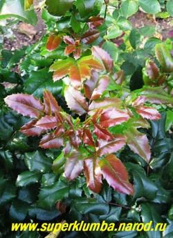 МАГОНИЯ ПАДУБОЛИСТНАЯ (Мahonia aquifolia) Цветет в мае желтыми душистыми медоносными цветками из которых осенью появляются синие сьедобные ягоды. Исключительно декоративна листьями, цветами и плодами.   ЦЕНА 250-500 руб (3-5 летки)