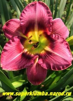 Лилейник ОЛВЕЙС АФТЕНУН (Hemerocallis Always Afternoon) диаметр цветка 14 см, сиреневый с пурпурным глазом и ярким лимонным горлом, по краю лепестка тонкая желтая кайма, цветет июль-август, высота 60 см.  ЦЕНА 200 руб (1шт)