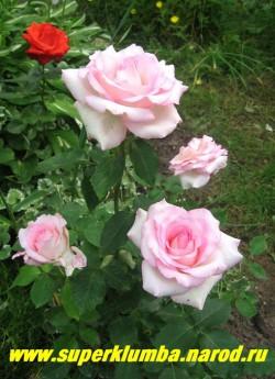 """РОЗА """"ГРАНД СИСЛЕЙ"""" Листва крупная, устойчивая к болезням, шипы крупные, побеги толстые. Куст сильнорослый, хорошо подходит к крупным цветкам. НЕТ В ПРОДАЖЕ"""