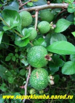 """Плоды АЙВЫ ЯПОНСКОЙ """"Оранжевой"""" (Chaenomeles japonica)  Плоды съедобные, круглой формы , до 6 см в диаметре, желто-зеленые, очень ароматные , плотно сидят на ветках , созревают в конце сентября - в октябре. заменяют лимон в чае, а также вкусные компоты и варенье вам обеспечены. ЦЕНА 350 руб НЕТ НА ВЕСНУ"""