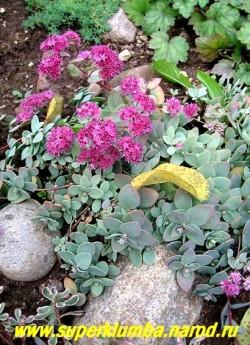 общий вид цветущего куста ОЧИТКА ЭВЕРСА (Sedum ewersii) ЦЕНА 200 руб.
