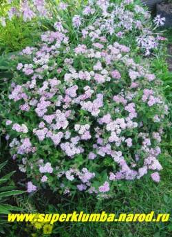 """СПИРЕЯ ЯПОНСКАЯ """"Альпина """" (Spiraea japonica """"Alpina"""") небольшой кустарник высотой до 45 см, крона компактная, округлая,густая, листья мелкие, темно-зеленые. Растет медленно. Весной ее обрезают на высоту 15-20 см от уровня почвы . НЕТ  В ПРОДАЖЕ"""