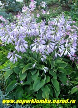 """цветущий куст хосты БЛУ КАДЕТ (Hosta """"Blue Cadet"""")  цветет очень пышно и обильно плотными гиацинтоподобными соцветиями с лавандовыми цветами.  ЦЕНА 200 руб ( 1шт) или 400 руб ( кустик 3-4 шт)"""