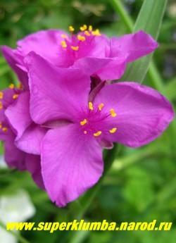 """ТРАДЕСКАНЦИЯ """"РЕД ГРЕЙП"""" (Tradescantia """"Red Grape"""") малиновая с голубой листвой, диаметр цветка 4 см, цв. июнь-сентябрь, высота 50-60 см, ЦЕНА 250 руб (1 шт)"""