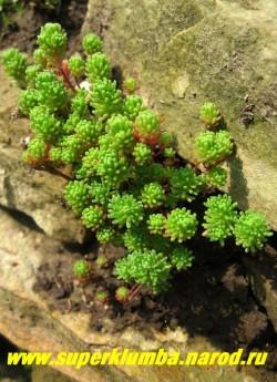 ОЧИТОК ЛИДИЙСКИЙ (Sedum lydium).   Стебли многочисленные, образуют густые дернинки до 10 см в высоту. Листья линейные, в нижней части побега краснеющие, Цветы бело-розовые собраны в зонтиковидное соцветие. ЦЕНА 150-200 руб (1 деленка)