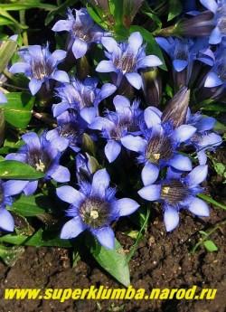 """ГОРЕЧАВКА СЕМИРАЗДЕЛЬНАЯ (Gentiana septemfida) Цветы крупным планом. Цветки до 4 см длиной, темно-синие, с   """"махровыми"""" выростами между лепестками, отличающими эту горечавку от других видов, собраны в плотное головчатое   соцветие. Зимостойкая и самая неприхотливая. ЦЕНА 350 руб."""