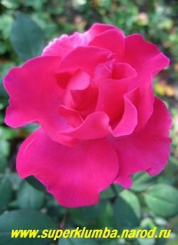 """РОЗА """"ЭЛЬВЕШОРН"""" очень красивого ярко-розового цвета, красивый разворот лепестков, цветок диаметром 6-8см, высота до 80 см, цветет с июня по заморозки, очень неприхотливая. НЕТ  В ПРОДАЖЕ"""