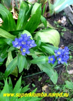 ГОРЕЧАВКА ДАУРСКАЯ (Gentiana dahurica) Это многолетнее растение до 40 см высотой. Прикорневые листья линейно-  ланцетные длиной 15-20 см . Цветки достаточно крупные, ярко-синие, расположены по 4-7 штук на верхушках стеблей   и в пазухах верхних листьев. Цветет в июле-августе. НЕТ В ПРОДАЖЕ