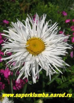 """Нивяник /ромашка """"ОЛД КОРТ"""" (Leucanthemum """"Old court"""") высокая 80- 100 см, полумахровая крупноцветковая - диаметр цветка 12-14 см, ромашка с тонкими игольчатыми лепестками , цветет в июле, ЦЕНА 200 руб (делёнка)"""