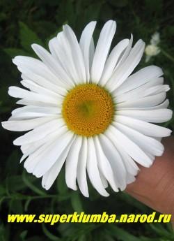 """Нивяник  """"ПОДАРОК"""" (Leucanthemum """"Podarok"""")   очень мощные и крупные до 15 см ромашки с крупными ярко оранжевыми серединками, высота 80-100 см, цветет в июне-июле.  ЦЕНА 300 руб (делёнка)"""