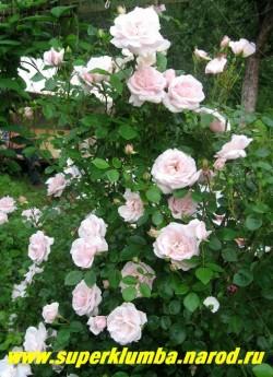 """РОЗА """"НЬЮ ДОУН"""" в саду. Роза цветет обильно, отмечается непрерывное появление новых цветков в течение всего лета. В одиночной посадке роза вырастает до 2 - метровой высоты. Цветки имеют приятный яблочный аромат. Неприхотлива. ЦЕНА 400-500 руб 4-5 ЛЕТКА)  НЕТ  НА ВЕСНУ"""