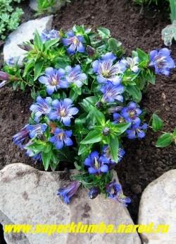 ГОРЕЧАВКА СЕМИРАЗДЕЛЬНАЯ (Gentiana septemfida) Растение с многочисленными, приподнимающимися или прямостоячими   стеблями, густо покрытыми небольшими, ланцетными, сидячими листьями. Цветет крупными синими цветами со второй   половины июня 40-45 дней. Высота 10-20 см.   ЦЕНА 350 руб