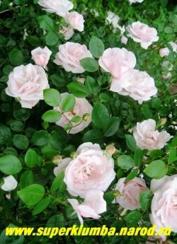 """РОЗА """"НЬЮ ДОУН"""" (New Dawn) плетистая крупноцветковая, чашевидные полумахровые цветы яблоневого цвета диаметром 6-8 см, собраны в соцветия от 3 до 7 штук, глянцевая насыщенно-зеленая листва, высота до 2 м. ЦЕНА 400-500 руб 4-5 ЛЕТКА)  НЕТ  НА ВЕСНУ"""