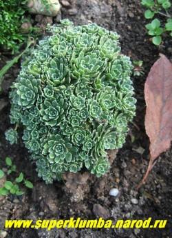 """КАМНЕЛОМКА МЕТЕЛЬЧАТАЯ """" Балкана минима"""" (Saxifraga paniculata ) низкие подушки с очень мелкими розетками (1-2см в диаметре). РЕДКИЙ коллекционный сорт. Цветет в июне-июле. ЦЕНА 200-250 руб. (деленка  7-10 розеток)"""