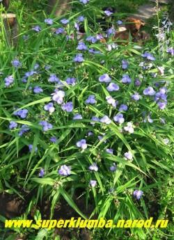 Большой куст лиловой традесканции (№1) в моем саду.