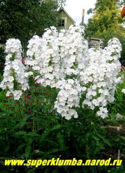 """Флокс пятнистый ШНЕЕЛАВИН (Phlox maculata """"Schneelawine"""") на фото цветущий куст флокса пятнистого ШНЕЕЛАВИН. Он действительно напоминает снежную лавину, а цветы очень стойки в срезке . Листва глянцевая плотная темнозеленая, куст украшает сад и без цветов. Неприхотлив, зимостоек, хорошо нарастает.  ЦЕНА 250 руб (1 шт) или 400 руб (кустик : 3-4 шт)"""