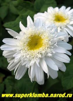 """Нивяник """"ЭДЕЛЬВЕЙС"""" (Leucanthemum """"Edelweiss"""")  полумахровые цветы с скругленными нижними лепестками, множественными  короткими язычковыми лепестками вокруг   желтого центра, в процессе цветения центр цветка остается """"ровным""""  в отличие от сорта Виррал Сьюприм,  диаметр цветка 7-8 см, высота до 60 см, цветет июнь-июль.   ЦЕНА 300 руб (делёнка) НЕТ НА ВЕСНУ"""