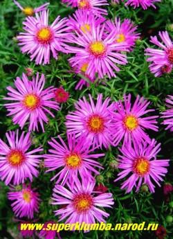 "АСТРА КУСТАРНИКОВАЯ ""Шпатрозе"" (Aster dumosus ""Spatrose"")  цветы крупным планом, диаметр цветка 3-4см, ЦЕНА 170 руб   (1 делёнка)"