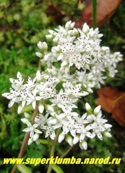 цветы ОЧИТКА БЕЛОГО (Sedum album) крупным планом. Цветки белые звездчатой формы с пурпурными пыльниками , около 10 мм в диаметре. ЦЕНА 100-150 руб (1деленка)