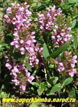 ЧЕРНОГОЛОВКА КРУПНОЦВЕТКОВАЯ (Prunella grandiflora) почвопокровное растение до 30 см высотой. Листья яйцевидные иногда перисто-рассеченные. Сиренево-розовые цветки собраны в колосовидные соцветия . Цветет с июня по август. НЕТ В ПРОДАЖЕ