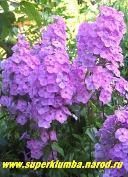 """Флокс пятнистый РОЗАЛИНДА (Phlox maculata """"Rosalinde"""") Arends 1918, РС, 90/2-2,5. Сиренево-розовые цветы в высоких колонновидных соцветиях, неприхотливый, зимостойкий, идеально сочетается с ШНЕЕЛАВИН. ЦЕНА 200 руб (1 шт) или 400 руб (кустик :3-4 шт)"""