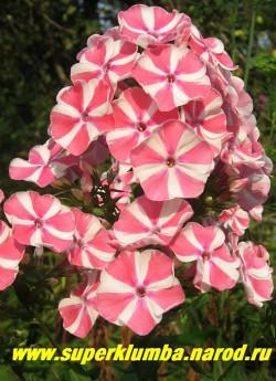 Флокс метельчатый ПЕПЕРМИНТ ТВИСТ (Phlox paniculata Peppermint Twist) Verschoor 2007, С, 60/4. Белый с розовым мазком по центру лепестка, невысокий куст с крупными ветвистыми плотными шапками , эффектный,  ЦЕНА 200 руб (1 шт) или 450 руб  (куст 3-4шт)
